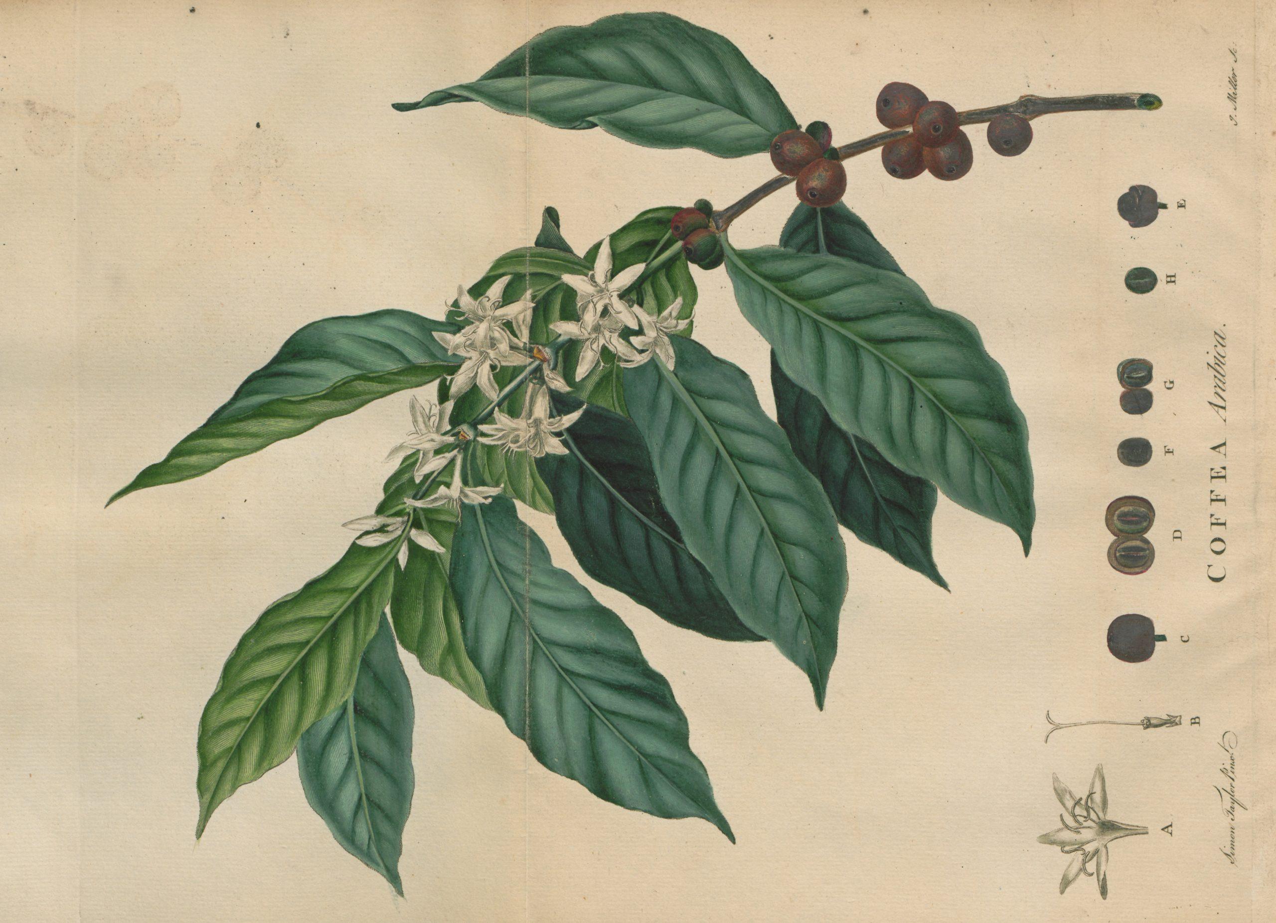 ジョン・エリス(John Ellis)『コーヒーの歴史的記述(An Historical Account of Coffee)』