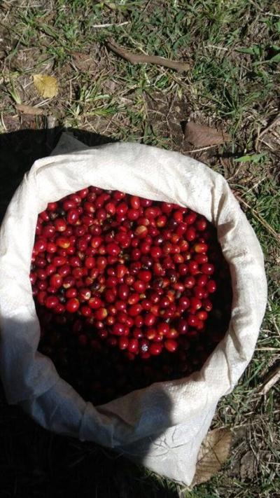 パナマのコーヒー農園(ボケテ地区):カフェ・ロハス
